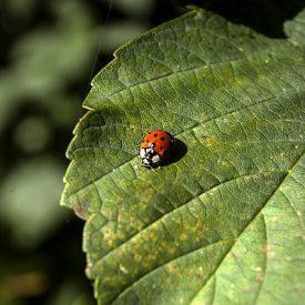 ladybug-1758977_640